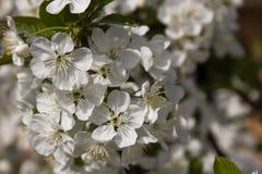 一棵樱桃树的进展的分支在春天庭院里,宏指令 选择聚焦 库存照片