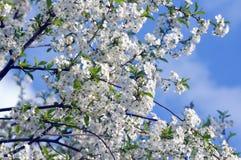 一棵樱桃的开花的树在春天 库存图片