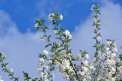 一棵樱桃的开花的树在春天 库存照片