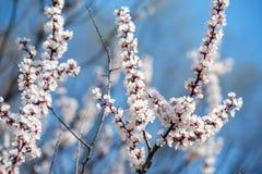 一棵樱桃的春天花与雪的 库存图片