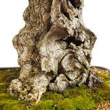 一棵橄榄树的古老树干作为盆景的 免版税库存照片