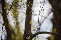 一棵橄榄树的花的惊人射击在后照的 一棵开花的橄榄树的分支与发白花的芽的 免版税图库摄影