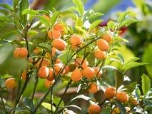 一棵橙树的成长在被弄脏的背景的 果子贸易 库存图片