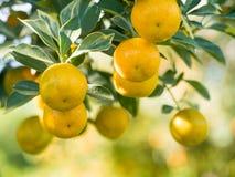一棵橙树的成长在被弄脏的背景的 果子贸易 免版税库存照片
