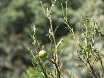 一棵橙树的枝杈在被切细的由叶子切削刀蚂蚁以后 库存照片