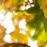 一棵橡木的照片与叶子和釉细节的在太阳下 图库摄影