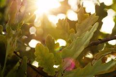 一棵橡木的照片与叶子和釉细节的在太阳下 库存图片