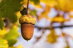 一棵橡木的照片与叶子和釉细节的在太阳下 免版税库存图片