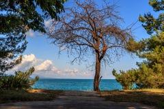一棵死的树在黑海增长 免版税图库摄影