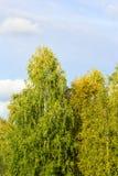 一棵母狗树的看法与黄色的在秋天离开反对清楚的蓝天在一个晴天 免版税库存图片