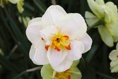 一棵水仙开花与橙黄心脏,特写镜头的白色颜色 图库摄影