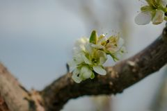 一棵洋李的进展的分支在春天 免版税图库摄影