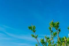 一棵洋梨树的分支与年轻绿色叶子的反对在框架,拷贝空间的角落的天空蔚蓝 免版税库存照片