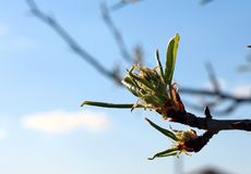 一棵洋梨树的开花的分支在蓝天的背景的 免版税图库摄影