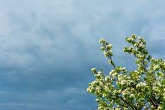 一棵洋梨树的进展的分支与年轻绿色叶子的反对风雨如磐的天空的背景在框架的角落的,拷贝 免版税图库摄影