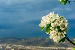 一棵洋梨树的进展的分支与年轻绿色叶子的在框架的角落反对风雨如磐的天空的背景的, 免版税库存图片