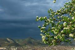 一棵洋梨树的进展的分支与年轻绿色叶子的在框架的角落反对风雨如磐的天空的背景的, 库存照片