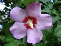 一棵淡紫色木槿的花 库存图片