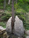 一棵生长树撕毁的岩石的挡不住的生活力量 库存照片