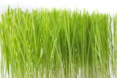 一棵生长草的顶层 库存照片