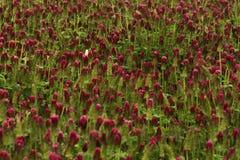 一棵白三叶草是红色的领域 库存照片