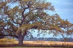 一棵白栎木在秋天 免版税库存图片