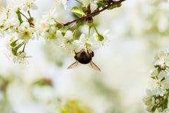 一棵白色开花的樱桃的分支反对蓝天的 在花的土蜂 美好的自然春天的概念 库存图片