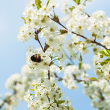 一棵白色开花的樱桃的分支反对蓝天的 在花的土蜂 美好的自然春天的概念 库存照片
