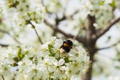 一棵白色开花的樱桃的分支反对蓝天的 在花的土蜂 库存图片