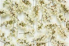 一棵白色开花的金合欢的背景 免版税图库摄影