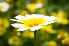 一棵白色春黄菊的一朵花与一个黄色核心的 库存图片