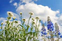一棵白色春黄菊的花,开花在雀鳝的蓝色翠雀 免版税图库摄影