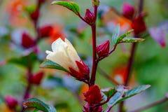 一棵白色木槿的特写镜头开花开始开花 库存图片