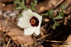 一棵白色木槿的花从非洲的 免版税库存图片