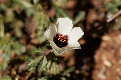 一棵白色木槿的花从非洲的 免版税库存照片