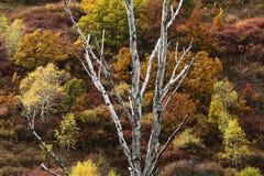 一棵白色树在树和灌木的背景前面的颜色增长 库存图片