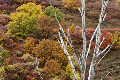 一棵白色树在树和灌木的背景前面的颜色增长 免版税库存图片