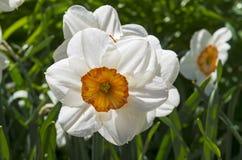 一棵白色水仙的特写镜头 免版税库存图片