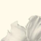 一棵白色水仙的瓣 免版税库存图片