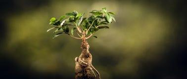 一棵盆景树的特写镜头,在自然本底 免版税库存图片