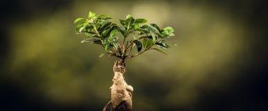 一棵盆景树的特写镜头,在自然本底 库存图片