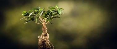 一棵盆景树的特写镜头,在自然本底 图库摄影