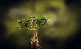 一棵盆景树的特写镜头,在自然本底 库存照片