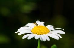 一棵真正地惊人的虚幻的春黄菊 免版税图库摄影