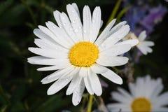 一棵真正地惊人的虚幻的春黄菊 库存照片