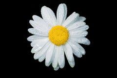 一棵真正地惊人的虚幻的春黄菊 免版税库存图片