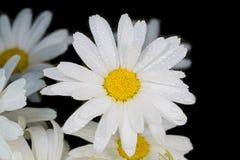 一棵真正地惊人的虚幻的春黄菊 库存图片