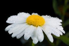 一棵真正地惊人的虚幻的春黄菊 免版税库存照片