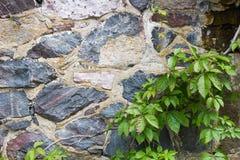 一棵石墙和绿色常春藤的背景 免版税库存图片