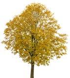 一棵秋季椴树 免版税图库摄影